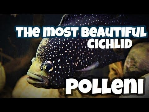 The Most Beautiful Cichlid In The World The Paratilapia Polleni