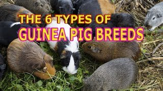 Guinea Pig Breeds: What Breed of Guinea Pig is The Friendliest?