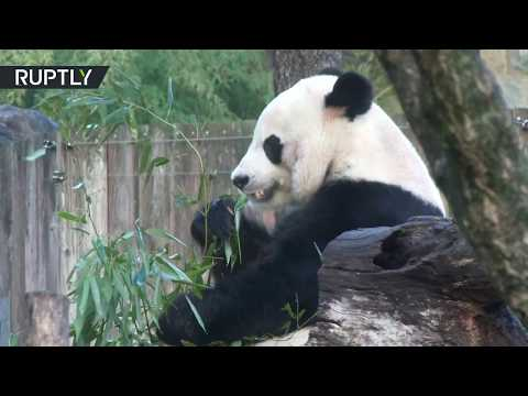 Giant panda leaves Washington DC for China in private FedEx jet