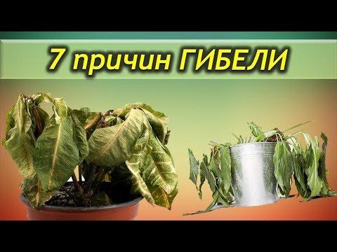 7 причин ГИБЕЛИ комнатных растений. Почему растения погибают.