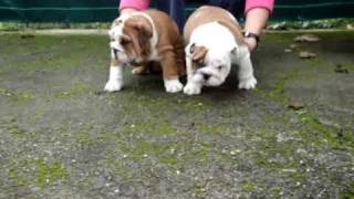 Cachorros Bulldog Ingles Delemavosbull