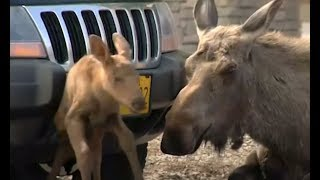 Moose Gives Birth In The Middle Of A Parking Lot | The Dodo