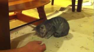 ジャーキーあげたら子猫が威嚇