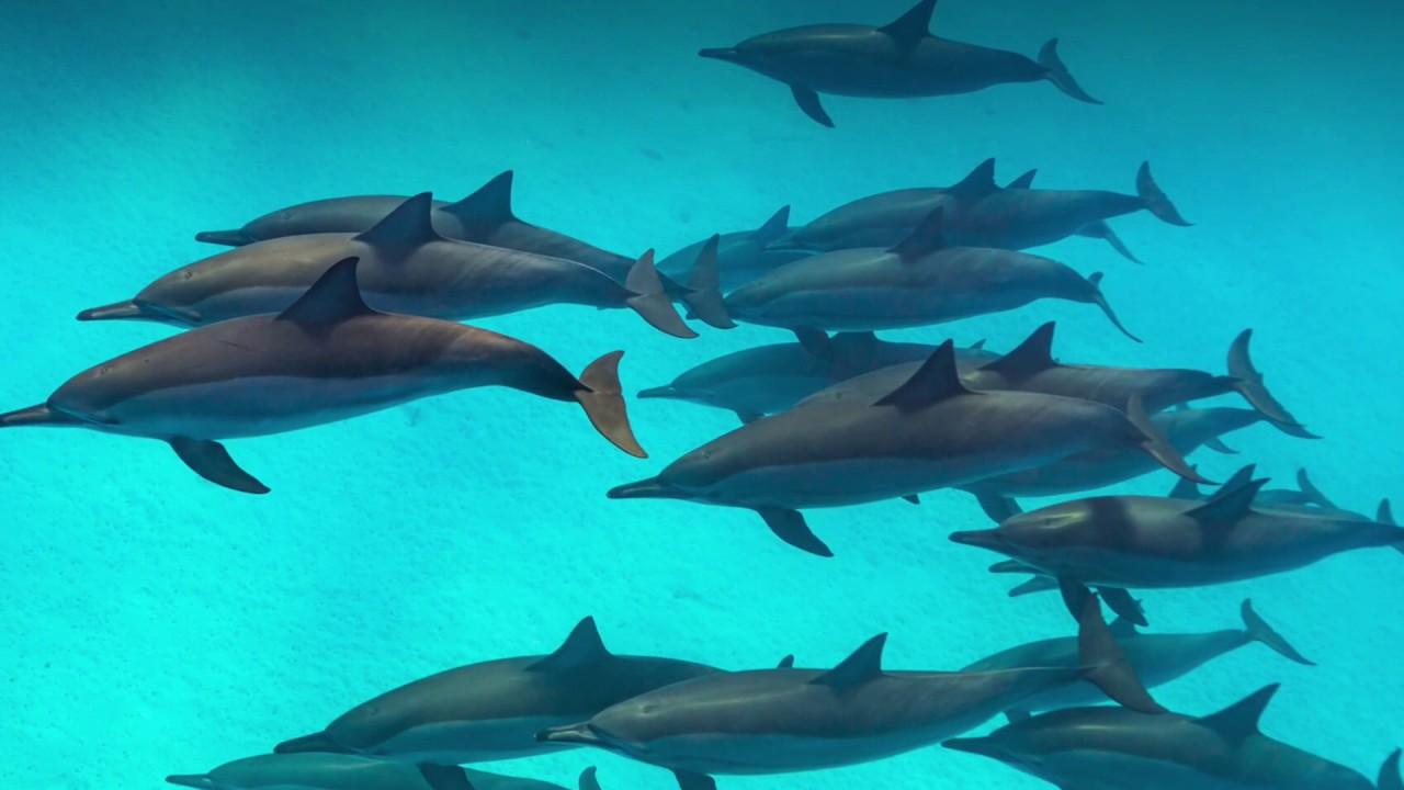 Bottlenose dolphin sounds - YouTube