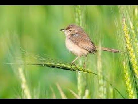 Berburu burung prenjak sawah di sore hari.... ada telor 7