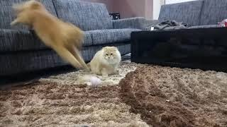 Cat exercise | Cat Catching Fish | American Bobtail & Maine Coon | Episode 1