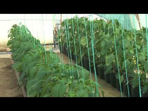 Neverovatno - paradajz i paprika u SAKSIJAMA  - masovno -  kao hidroponija