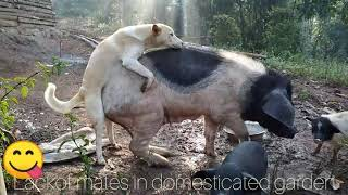 Intergeneric Mating Of Animals Between Dog And Pig