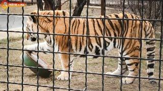 Зачем тигр лижет миску? Как же хищные кошки хотят общения!  Тайган. Predators want to chat. Taigan.
