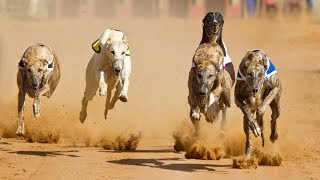 Top 3 Fastest Dog Breeds in the World