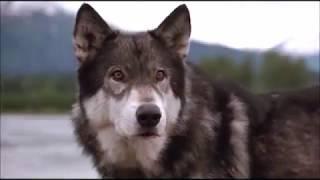 Клип про волка. Белый клык.