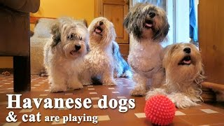 Havanese dogs and funny cat are playing together