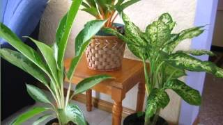 Chinese Evergreen | Garden House Or Office Decor Plants Picture Collection
