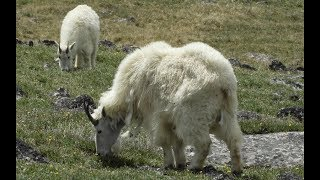 Mountain Goats on the Beartooth Hwy in the Custer National Forest (Montana)