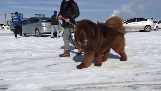 Тибетский мастиф, кобель для вязки, Кхан Кхуу, Tibetan mastiff