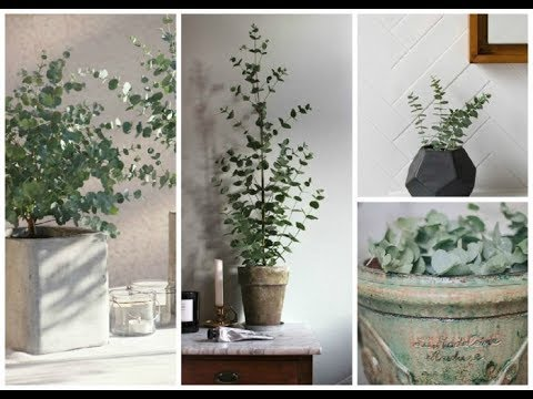 Как вырастить эвкалипт в домашних условиях
