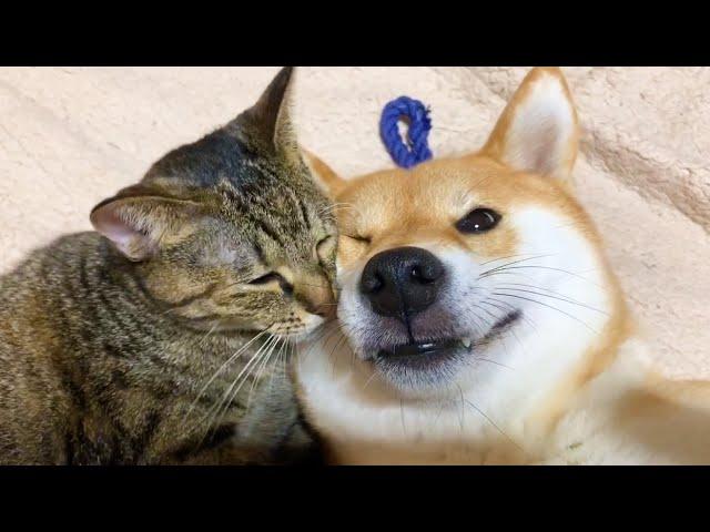 子猫を保護して天使のように成長した猫リリと柴犬にアピールタイムを再開した猫リム She is kind to Shiba Inu and Kitten