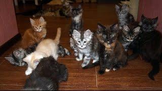 Котята мейн кун онлайн. Maine Coon cattery