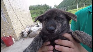 两只中华田园犬养活一群狗娃,花色各异呆萌可爱,还有只罕见虎斑。发布...