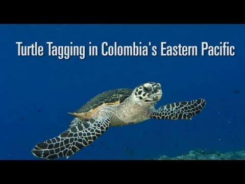 Sea Turtle Tagging in Colombia