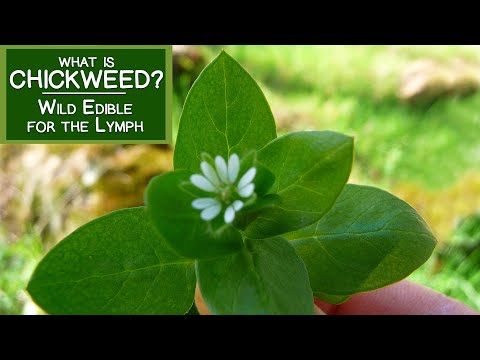 What is Chickweed? A Wild Edible Green for the Lymph and More