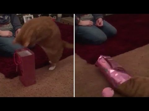 This cat tried to dive into a gift bag and it ended in hilarious failure