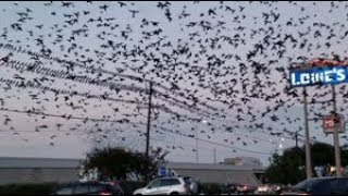 Like A Scene Out Of An Alfred Hitchcock Movie - Black Birds / Grackles - Migration
