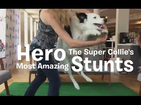 Hero The Super Collie's Most Amazing Stunts!