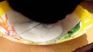 Кошка ест сметану смешно до слез
