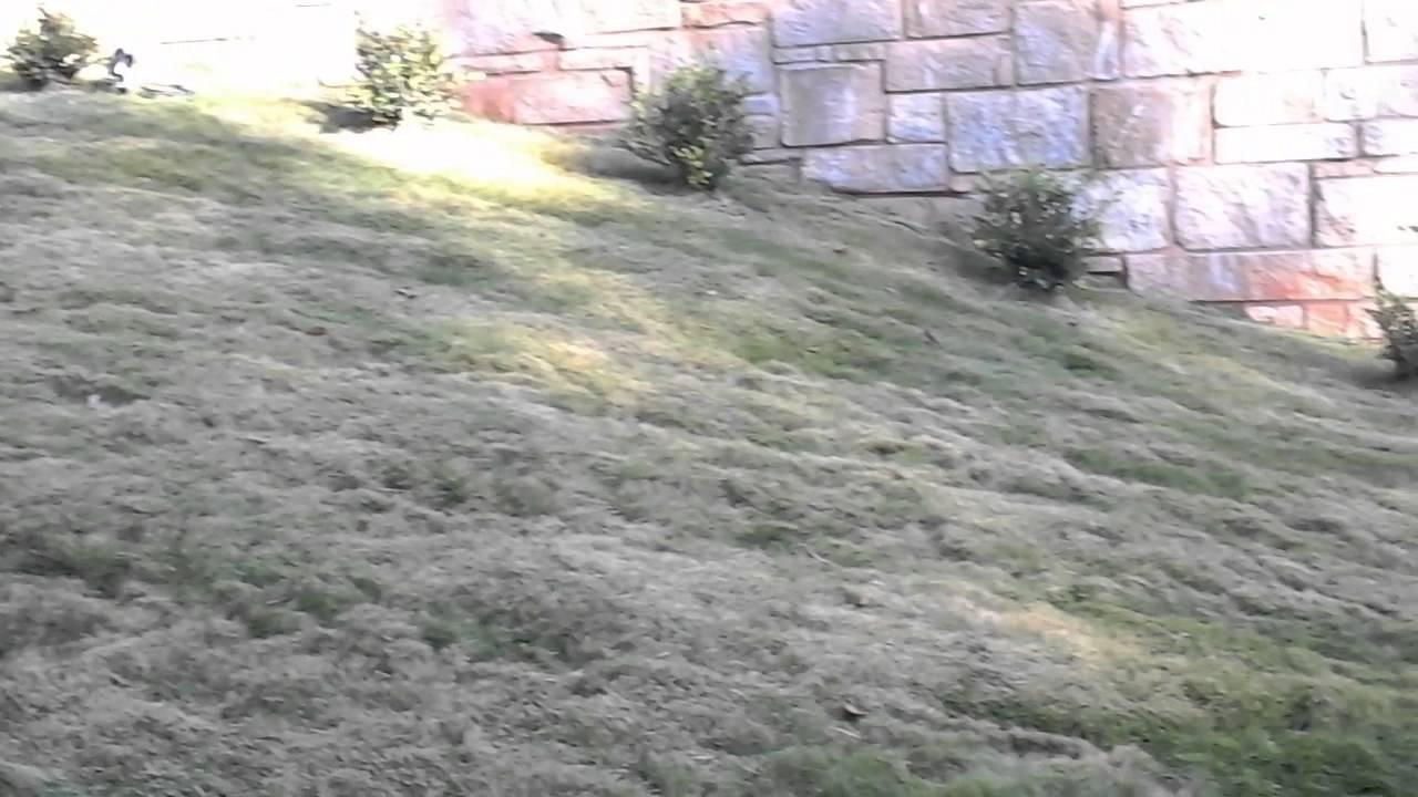 zorro zoysia