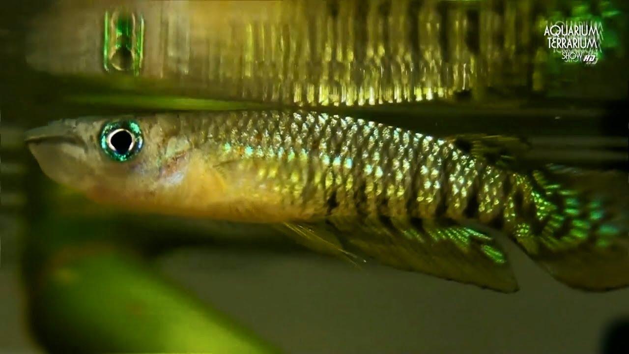 Werner 39 S Killifish Aplocheilus Werneri Striped Panchax