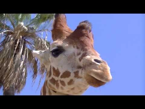 Feeding Giraffes San Diego Zoo Safari Park, March 13, 2014 thumbnail