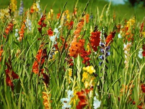 Coltivare i gladioli in vaso youtube for Coltivare more in vaso