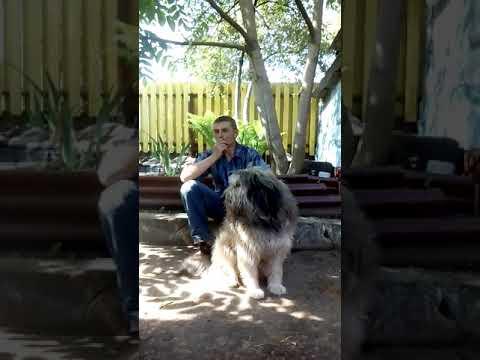 Пёс по кличке Босс.Каталонская овчарка.