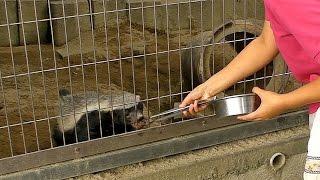 ラーテル、サーバル、ハイエナのおやつTIME(東山動植物園)Ratel 、Serval、Hyaena snack Time