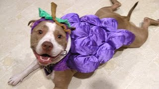 Download Video Pitbull Dogs And Puppies - A Funny Videos And Cute Videos Compilation || NEW HD MP3 3GP MP4