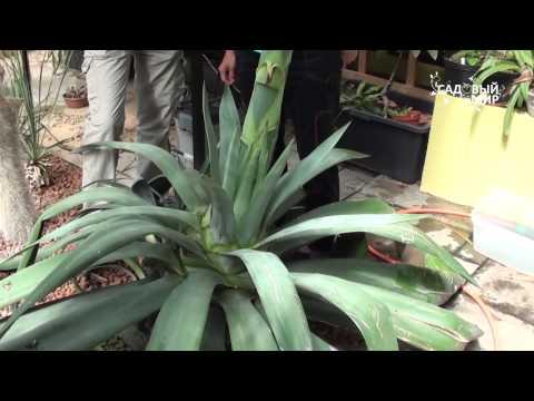 """Необычные растения .Как цветет Агава. Сайт """"Садовый мир"""""""
