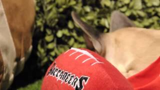 Frankie the French Bulldog is Tampa Bay Buccaneers' new star wide receiver! teacuppuppiesstore.com