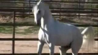 Арабские лошади.avi