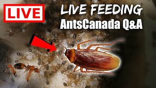 LIVE STREAM + Q&A: LIVE Feeding My Fire Ants ROACHES for YOU
