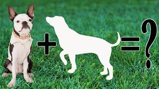 Boston Terrier Cross Breeds : Top 12 fabulous Boston Terrier mixes that We Love !