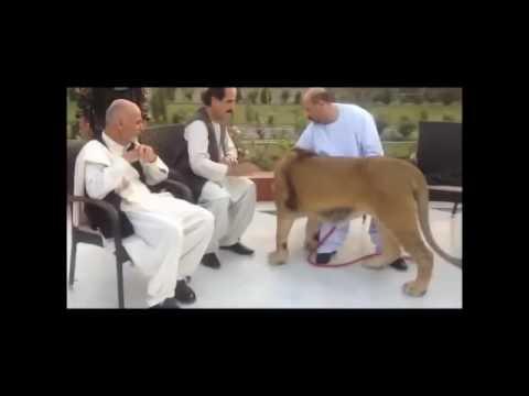 اشرف غنی و شیر- Ashraf Ghani & lion