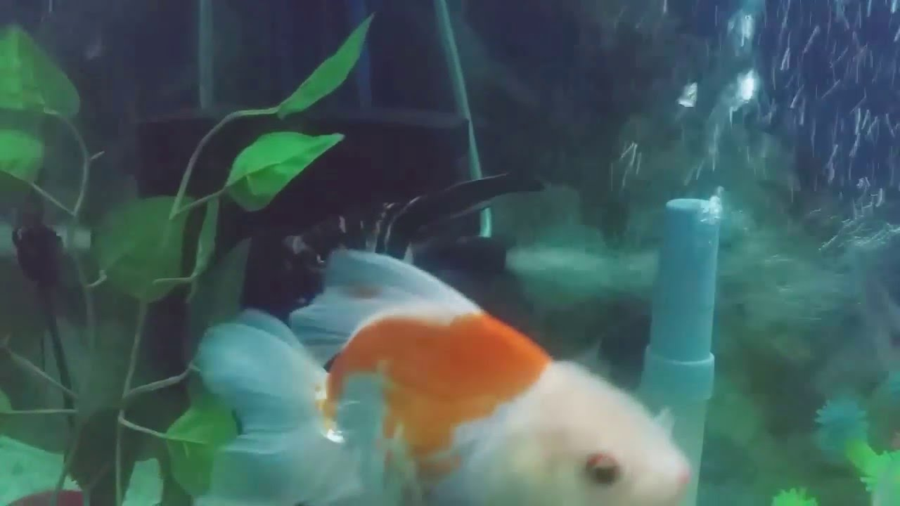Freshwater aquarium fish not eating - My Angel Fish Getting Down Not Eating Any Feed Help