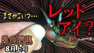 カブトムシ+クワガタ=昆虫採集 天然のレッドアイカブト発見か?(くろ...