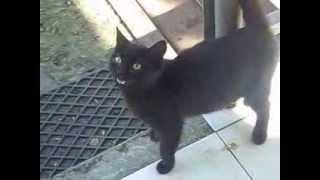 черная кошка .мяу :)