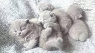 Самый мимишно няшный возраст. Британские котята.