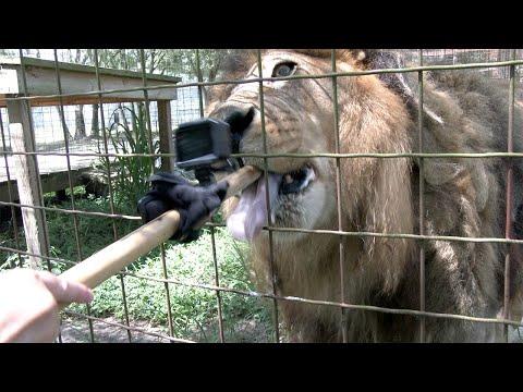 A Lion Gets Birthday Ice Cream