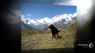 Гладкошерстный ретривер порода собак