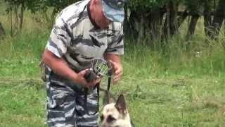 Простое приучение собаки к наморднику