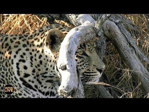 safariLIVE - Sunset Safari - July 20, 2019